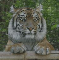 animated tiger // 280x286 // 139.6KB