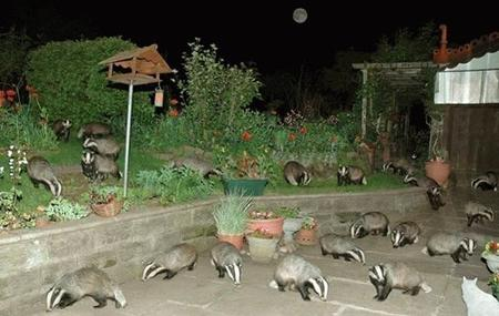 badgers photo // 599x379 // 67.9KB