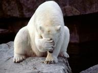 bear facepalm polar_bear // 400x300 // 20.8KB