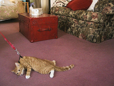 cat humor leash nope // 500x375 // 171.3KB