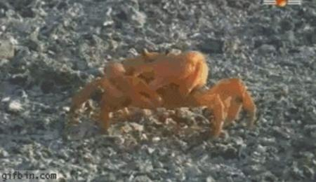 animated crab gif humor idgaf macro // 298x172 // 1.2MB