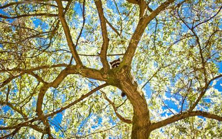 photo racoon tree // 920x575 // 206.9KB