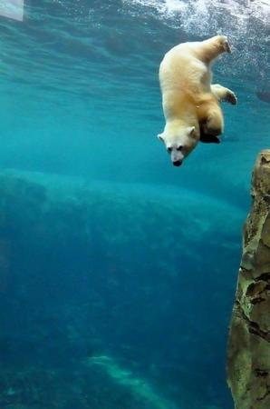 bear photo polar_bear swimming // 500x754 // 38.9KB