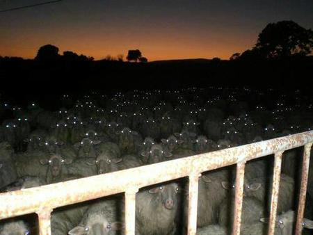 creepy photo sheep // 500x375 // 24.1KB