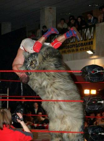 bodyslam cat kitten photo wrestling // 500x675 // 45.3KB