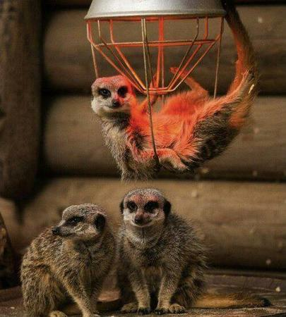 group meerkat photo // 500x555 // 45.6KB