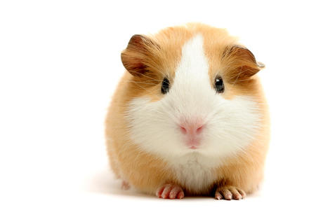 guinea_pig high_res photo // 3000x2000 // 1.6MB