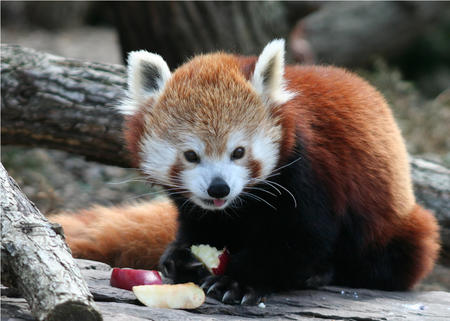 firefox high_res photo red_panda // 1200x857 // 221.2KB