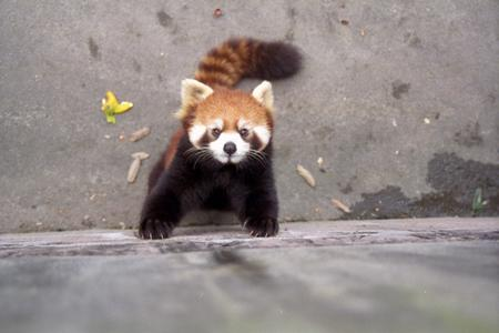 firefox high_res photo red_panda // 1536x1023 // 275.0KB