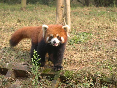 firefox high_res photo red_panda // 1280x960 // 439.8KB