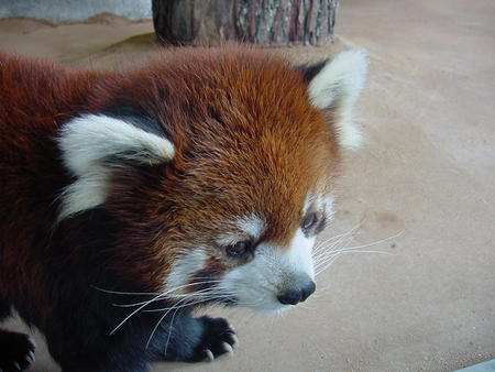 firefox high_res photo red_panda // 1024x768 // 338.6KB