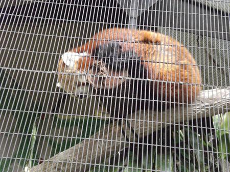 cage firefox high_res photo red_panda // 1600x1200 // 1.1MB